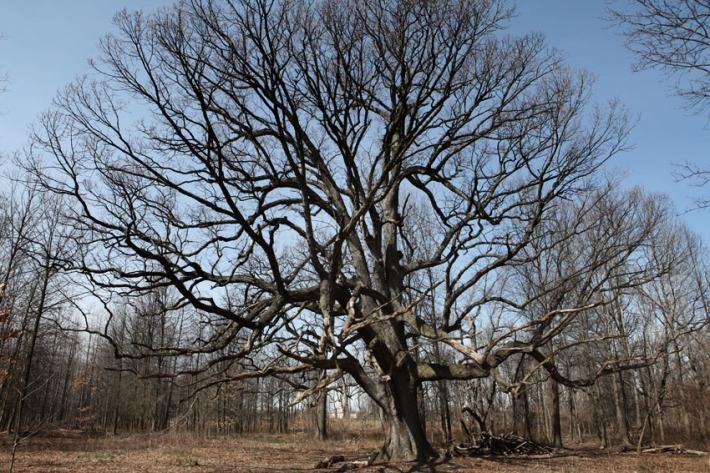 Getting introduced to the 500 year-old oak tree © Karoline Hjorth & Riitta Ikonen
