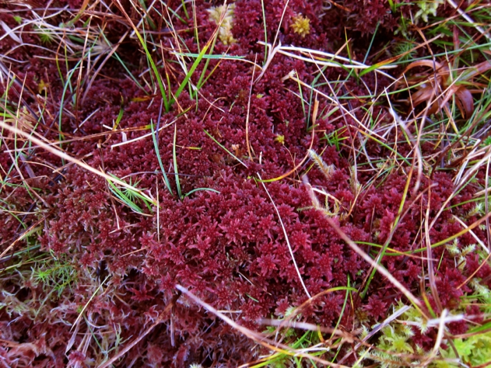 Faroese Sphagnum-moss © Karoline Hjorth & Riitta Ikonen
